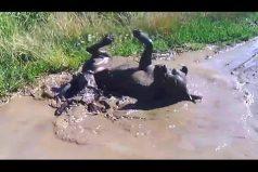 ¿Qué tiene el barro que hace tan feliz a los cachorros? ¡Sin duda ellos sí saben disfrutar la lodoterapia!