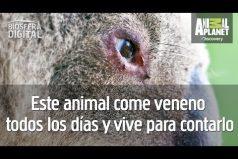 Comen hojas venenosas, duermen mucho y no toman agua, ¿sabes de qué animal se trata? ¡Es muy tierno!