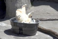 ¡Qué refrescante se ve! Disfruta de la felicidad de Nora, una hermosa osa polar, en una piscina de hielo