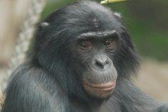 Los simios pueden seguir las tramas de los videos