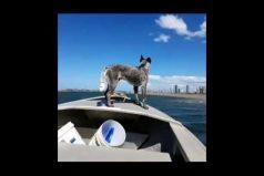 ¡A todo pulmón! La impresionante carrera entre un perro y un bote a motor. ¡Final de foto finish!