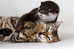 ¡Amigos inseparables! Conoce a Sam, un gato de bengala, y a Pip, una nutria, que sorprenden con sus juegos