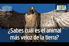 ¿Conoces al halcón peregrino? Es el animal más veloz de la tierra. ¡No creerás la velocidad a la que puede volar!
