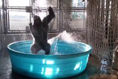 ¡Así es como se disfruta un baño! La emocionante reacción de este gorila te dará ganas de ir a darte una ducha