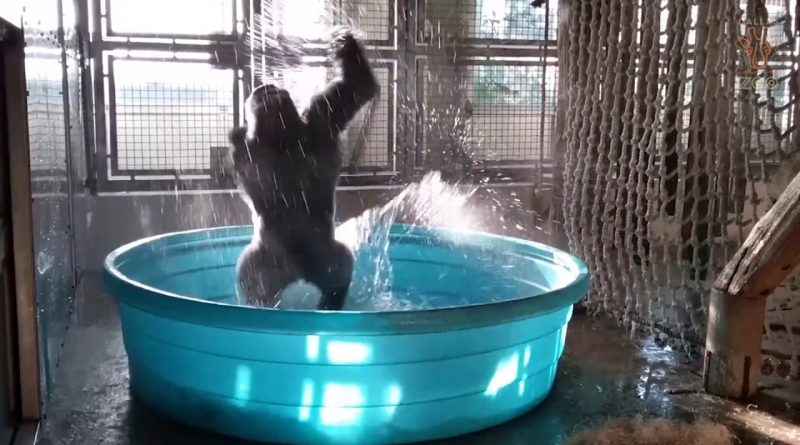 Breakdancing-Gorilla-Enjoys-Pool-Behind-the-Scenes