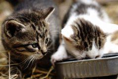 Los gatitos amantes de la comida, ¡tienen enamorado a todo el mundo!