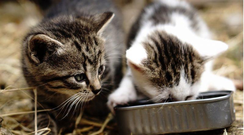 Los-gatitos-amantes-de-la-comida-¡tienen-enamorado-a-todo-el-mundo