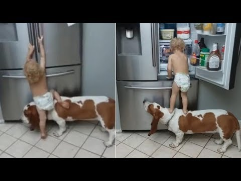 Toddler-Dog-Team-Up-To-Raid-Fridge-Video-of-dog-helping-toddler-open-fridge.-'Hungry-Kya'