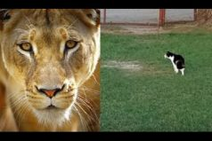 ¡Qué valiente! Baggy, la gata que se enfrenta sin miedo… ¡A una leona!