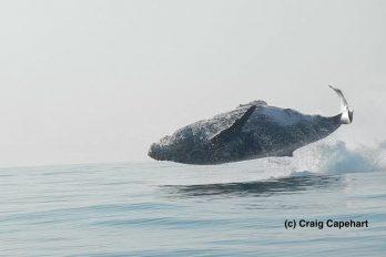 ¡Maravilloso espectáculo! El impactante salto de una ballena de 40 toneladas… ¡Dando un giro completo en el aire!