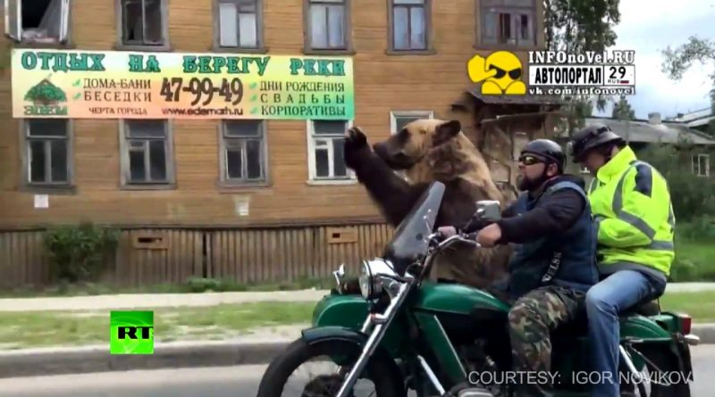 Biker-Bear-Not-only-humans-ride-motorcycles-on-Russian-streets
