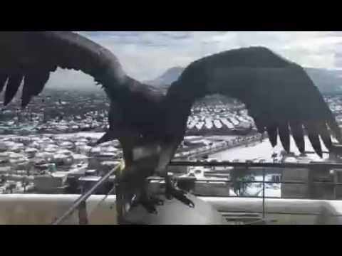 Condor-en-balcon-de-un-edificio-en-Las-Condes-durante-la-nevazon