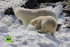 ¡Muy lindos! A estos osos polares les llevaron un poco de nieve para atenuar el duro verano. ¡Su reacción enternece!