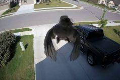 ¡Ver para creer! Este pájaro vuela sin mover las alas. ¿Sabes por qué ocurre este efecto óptico?