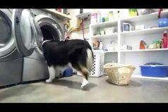 ¡Qué bella! La perrita que todos quisieran de ayudante en el hogar… ¡Lava, cuelga y organiza la ropa!