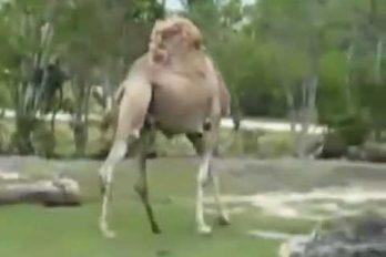 ¡Jajaja! El gran atractivo de este zoológico es… ¿Un camello sin cabeza? ¡Qué loco!