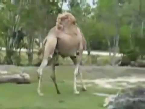 Impactante-Camello-sin-Cabeza-en-Zoologico