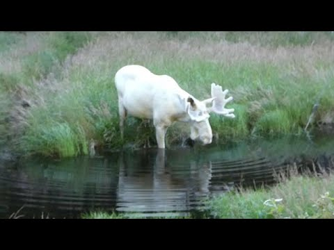 Rare-white-moose-takes-a-summer-dip