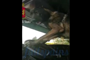 ¿Casualidad o pilera? Este perro policía toca la bocina tras encontrar droga en un vehículo… ¿Quería llamar la atención?