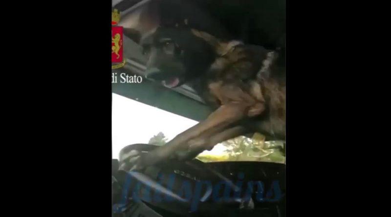 Un-perro-policía-toca-la-bocina-tras-descubrir-un-paquete-de-heroína-en-un-vehiculo