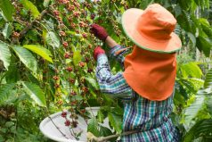 Una buena noticia para nuestros cafeteros colombianos