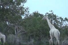 Estas jirafas blancas se han vuelto virales, pero no sufren albinismo