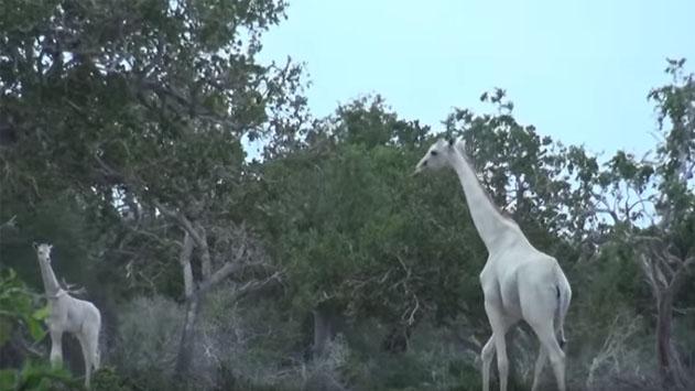 jirafa-blanca-leucismo