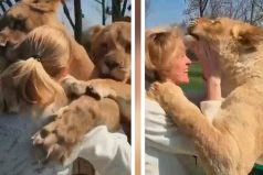 El reencuentro  de dos leones y su dueña que te hará llorar de emoción