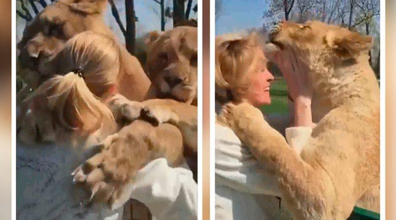 El-reencuentro-de-dos-leones-y-su-dueña-que-te-hará-llorar-de-emoción