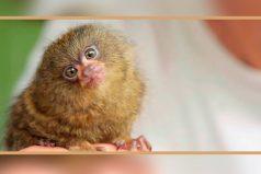 Conoce la hermosa historia de Ninita, ¡el mono más pequeño del mundo!