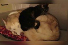 El gatito que duerme encima de un perro, ¡una hermosa historia!