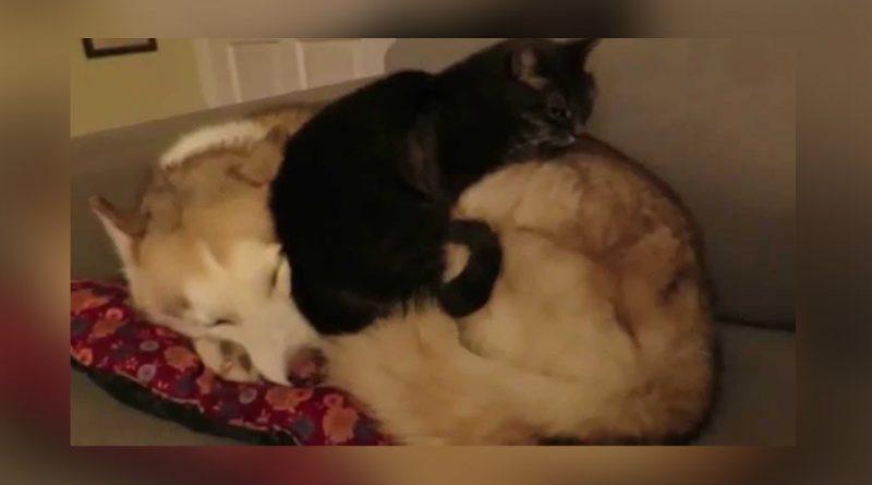 El-gatito-que-duerme-encima-de-un-perro-¡una-hermosa-historia