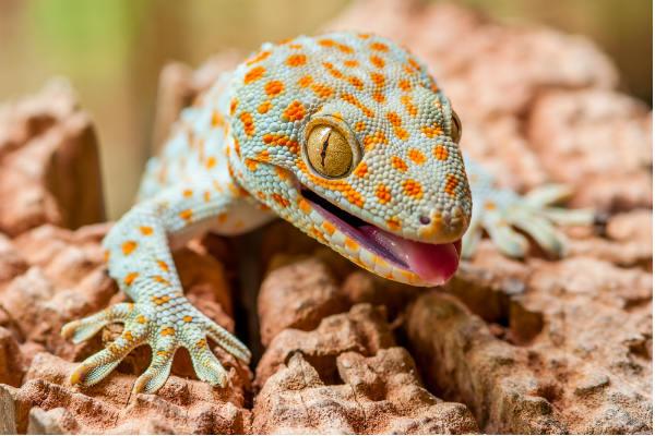 Geckos-reptil