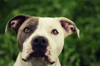 ¿Por qué los pitbulls son las mejores mascotas del mundo?