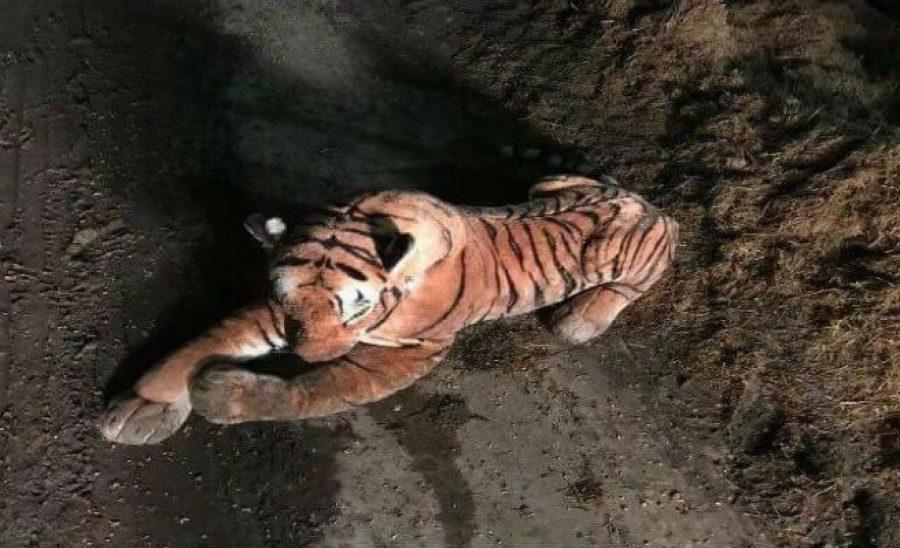 Operativo policial para atrapar a un tigre, ¡y resulta ser de peluche!