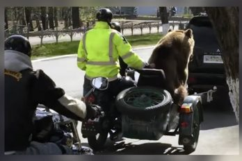 El Oso que pasea calles en moto, ¡tienes que verlo!