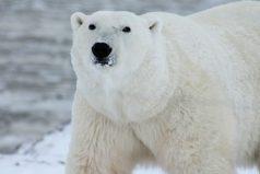 Los osos polares podrían desaparecer más pronto de lo que se pensaba