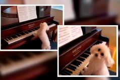 El perro pianista que ha encantado a internet. ¡Tiene más talento que tú!
