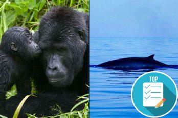 Ballenas y gorilas, ahora son más, gracias a la lucha contra la caza y el furtivismo