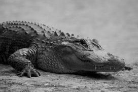 El caimán aguja ya no está en riesgo de extinción, por lo que se permitirá su comercialización
