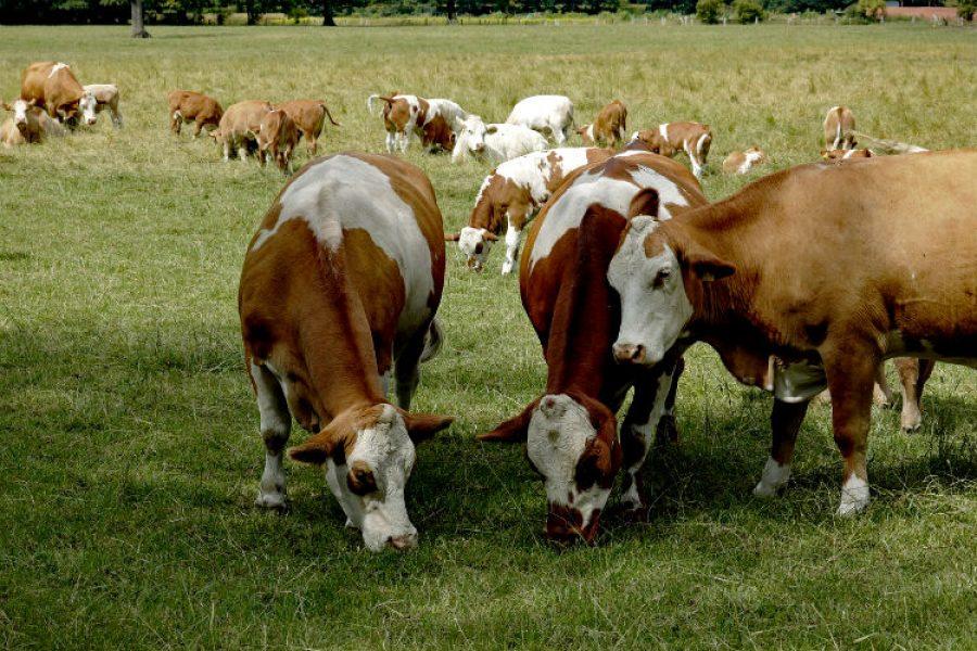 Fertilización eficiente de pastos, factor determinante para hacer más rentable la producción lechera