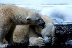 Los osos polares se están trasladando en manada a centros urbanos generando emergencias