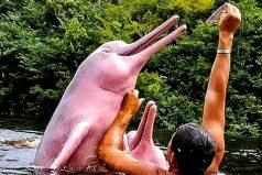 Las razones por las que el delfín rosado está disminuyendo en los ríos de Colombia