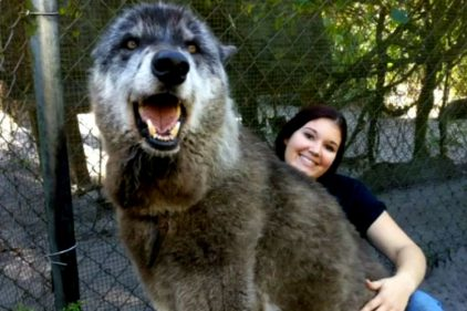 """Yuki, el perro lobo de 1.65 metros que necesita de ayuda ¡Es cariñoso y """"súper juguetón!"""