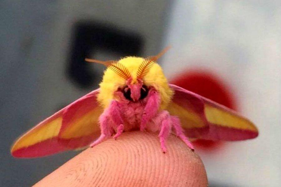 Sí hay insectos bonitos y este podría ser el más bello de todos ¡Parece un peluche!