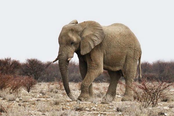 elefante-