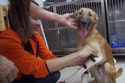 🐶 El momento en el que un perrito vuelve a caminar gracias a dos prótesis, ¡para llorar de emoción! 🥺