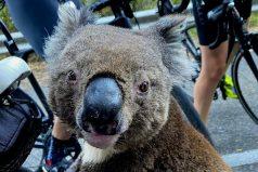 Koala pide ayuda a un ciclista y llama la atención del mundo, ¡se hizo entender!