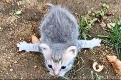 La gatita rescatada que superó un raro síndrome que le impedía caminar