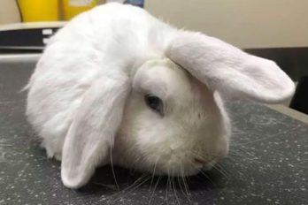 Wonky, el conejo 'unicornio' que sueña con estrenar hogar en Navidad